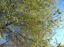 Chinese elm - thieves of water